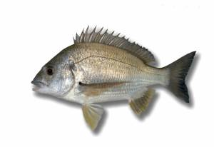 BREAM yellowfin [ Acanthopagrus australis ]