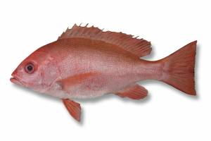SNAPPER crimson [ Lutjanus erythropterus ]