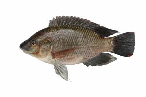 TILAPIA female [ Oreochromis mossambica ] 230mm
