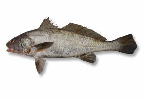 JEWFISH black [ Protonibea diacanthus ]