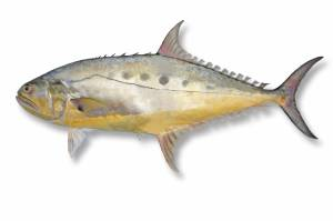 QUEENFISH Gaint [ Scomberoides commersonnianus ]