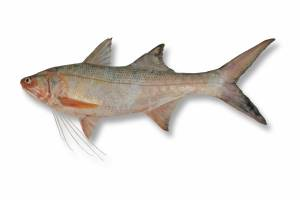 THREADFIN king   [ Polydactylus macrochir ]