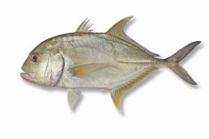 TREVALLY gaint [ Caranx ignobilus ]